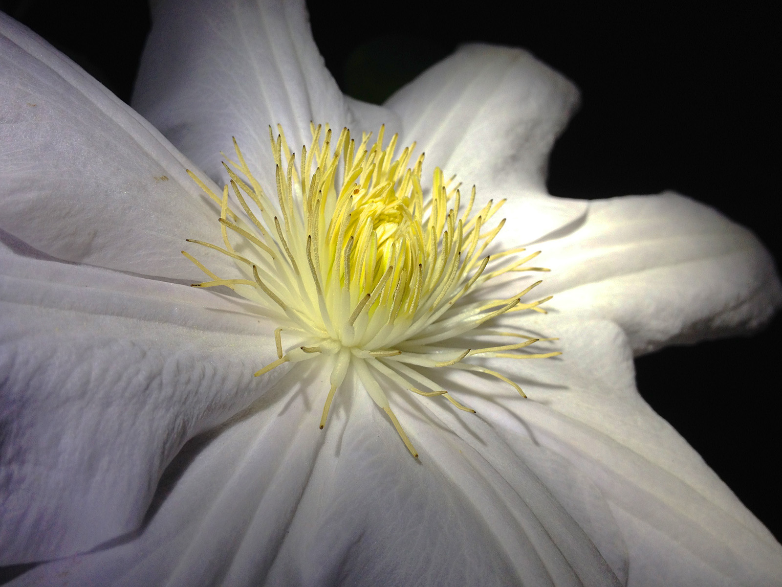 03 Clematis_1_col