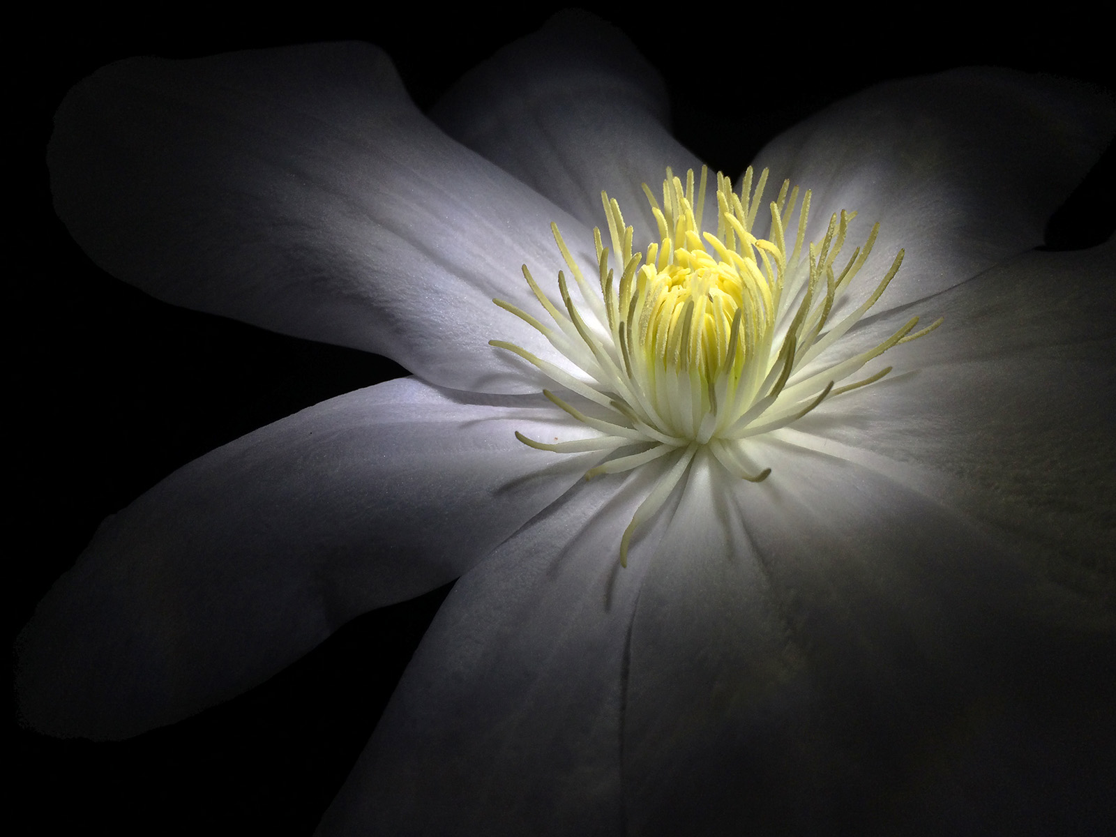 13 Clematis_2_col